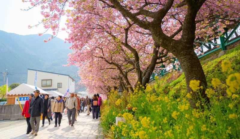 Beau Kawazu Sakura Festival, pleine floraison de fleurs de cerisier photo libre de droits