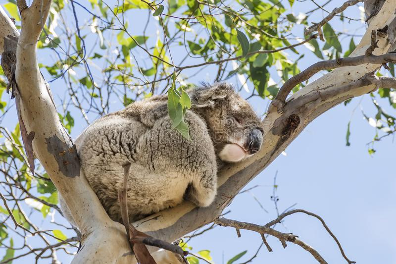 Beau koala dans le penchement sauvage de sommeil de la vie contre une branche élevée d'eucalyptus contre le ciel bleu, île de kan photo libre de droits