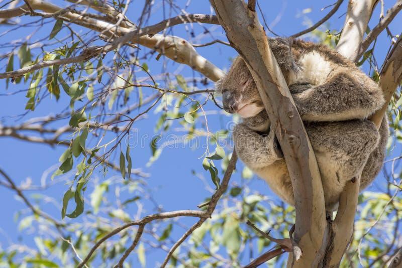 Beau koala endormi sur un eucalyptus contre le ciel bleu, île de kangourou, Australie du sud photos libres de droits
