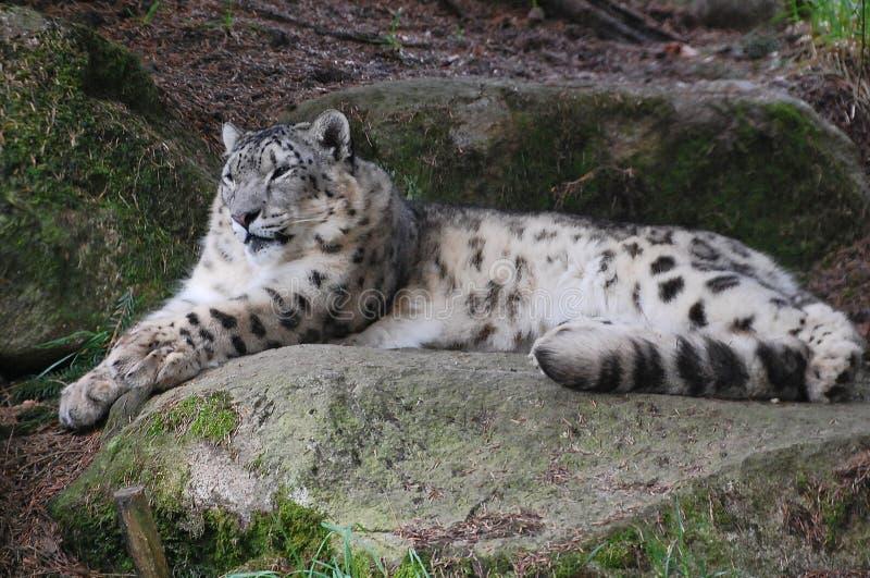 Beau léopard de neige poilu blanc et gris image stock