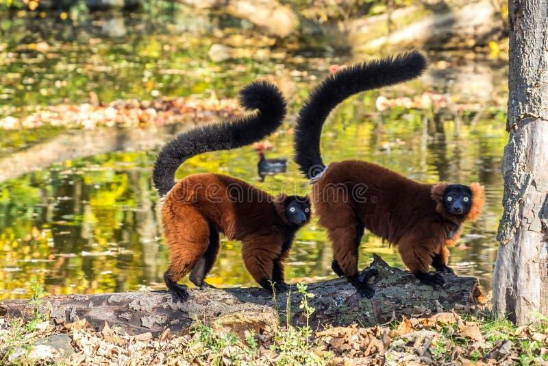 Beau l?mur ruffed rouge, rubra de Varecia dans un zoo allemand photos stock