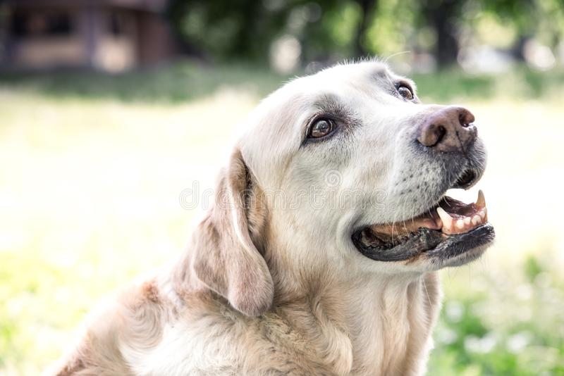 Beau Labrador avec un regard doux images stock