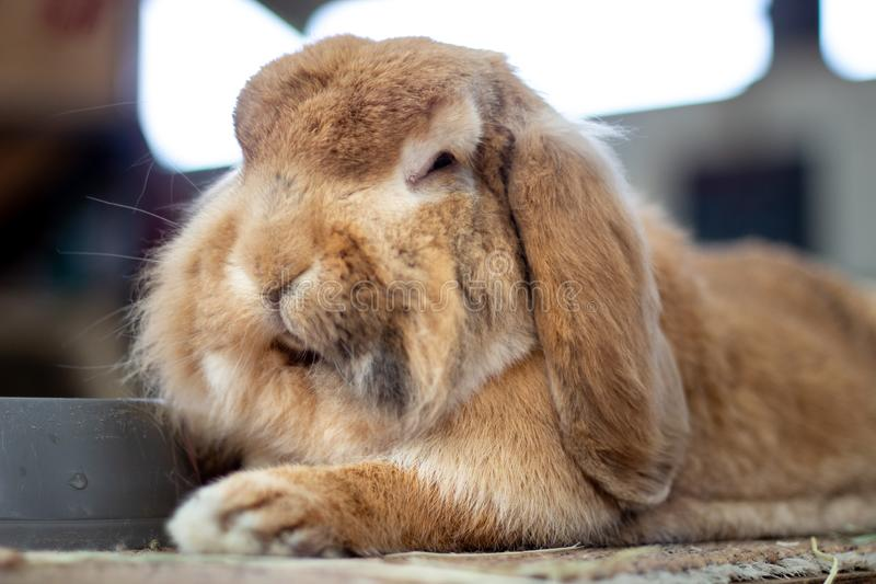 Beau lapin domestique posant à la ferme image stock