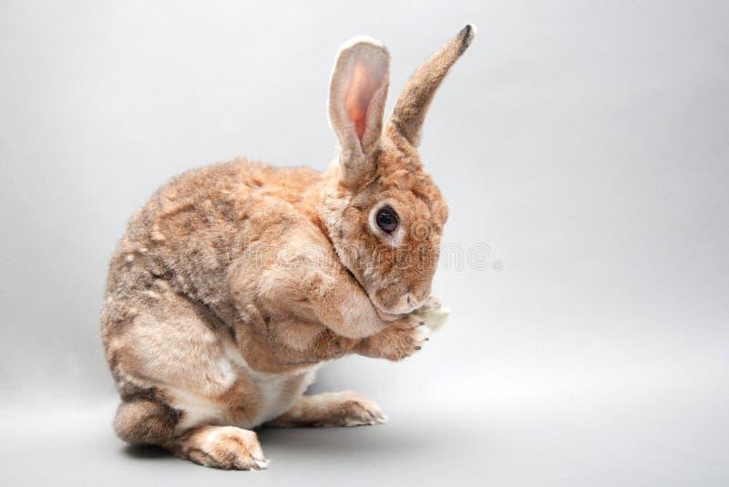 Beau lapin rouge se lavant le visage se reposant sur un dos sans couture photos stock