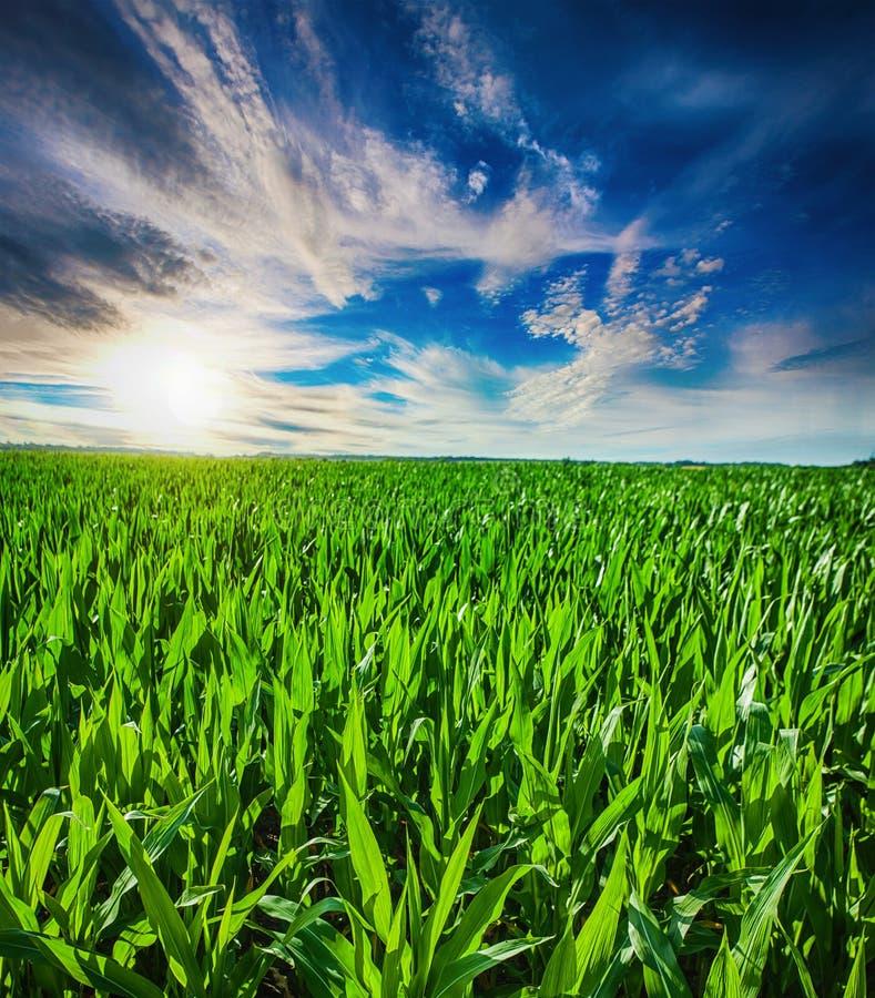Beau lever de soleil de matin au-dessus du champ de ma?s photographie stock libre de droits