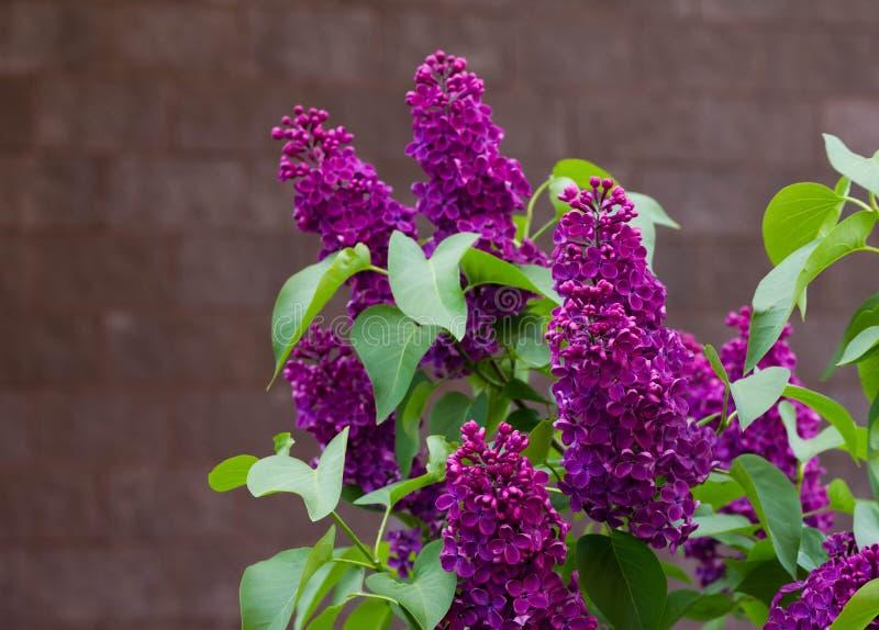 Beau lilas de Bourgogne de branche avec le plan rapproché vert de feuilles Fleurs lilas pourpres Syringa image libre de droits