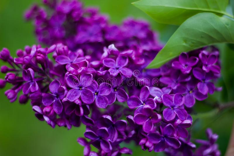 Beau lilas de Bourgogne de branche avec le plan rapproché vert de feuilles Fleurs lilas pourpres Syringa photographie stock libre de droits