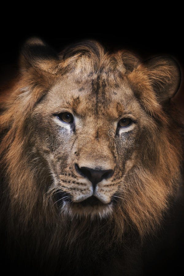 Beau lion puissant photos stock