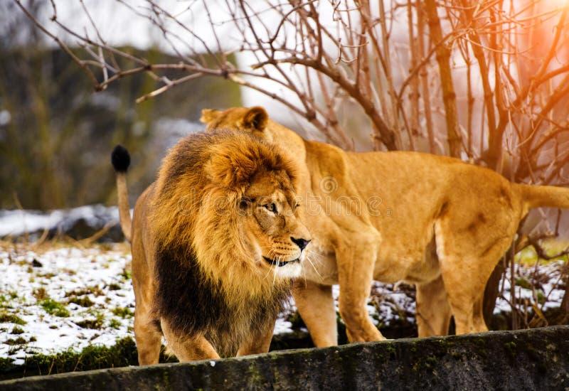 Beau lion puissant avec la lionne Famille de lion se situant dans l'herbe photo libre de droits