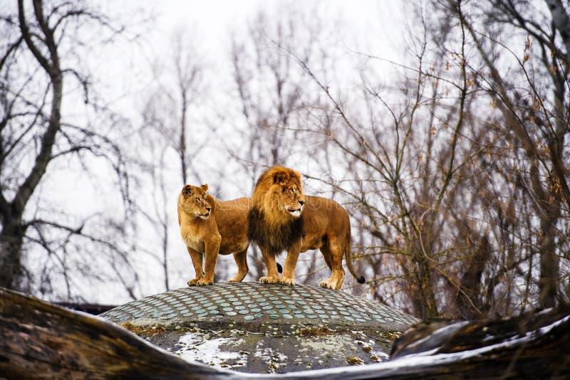 Beau lion puissant avec la lionne Famille de lion se situant dans l'herbe photographie stock