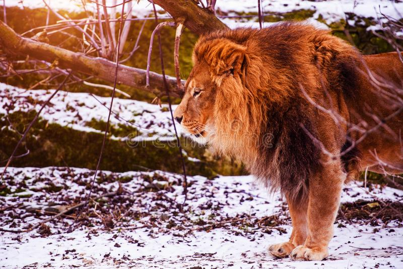 Beau lion puissant Grand chat Animal fort et puissant photo stock