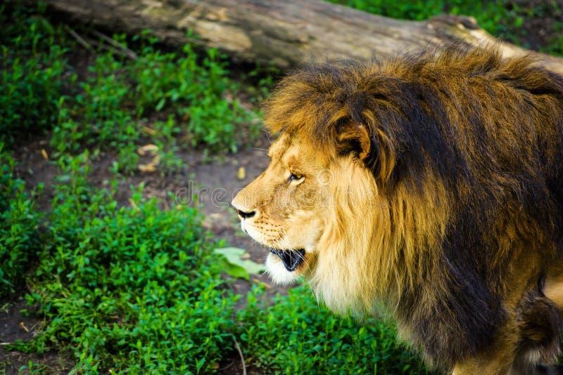 Beau lion puissant images libres de droits