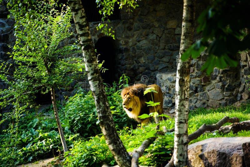 Beau lion puissant image libre de droits