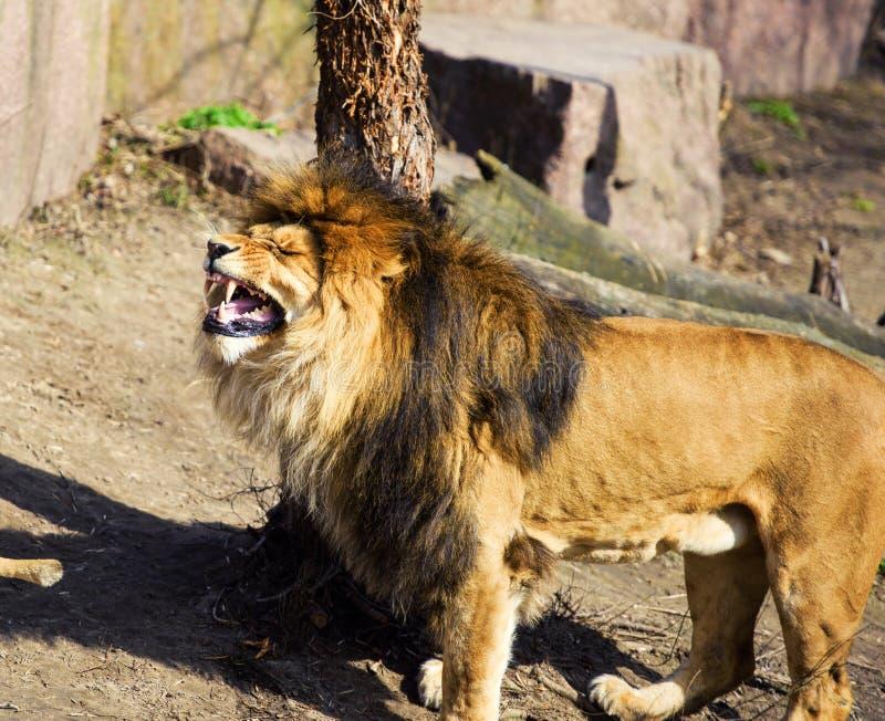 Beau lion puissant image stock