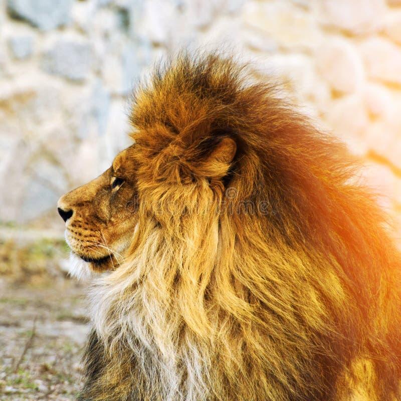 Beau lion puissant photo stock