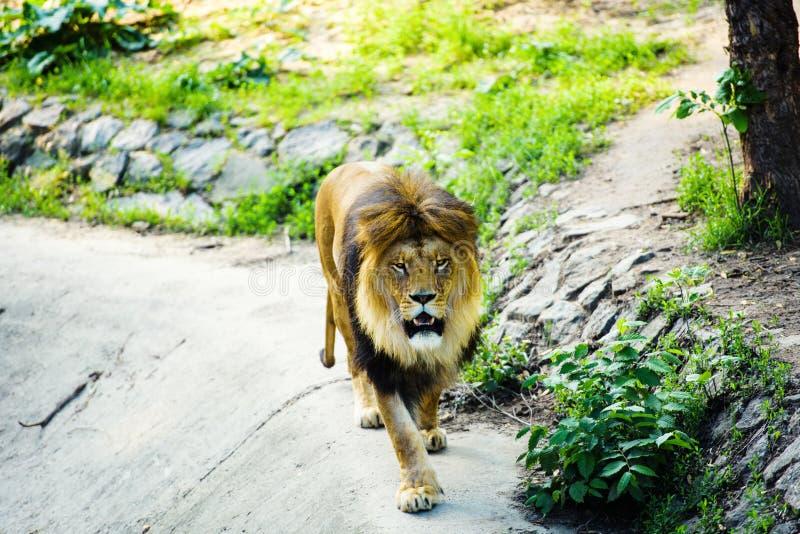 Beau lion puissant images stock