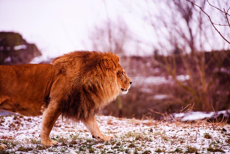 Beau lion puissant Monde animal Grand chat photographie stock