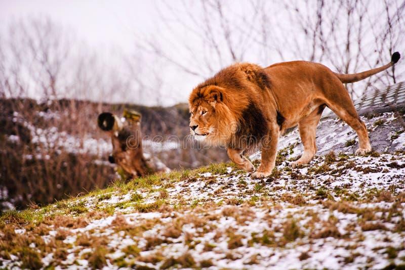 Beau lion puissant Monde animal Grand chat images stock