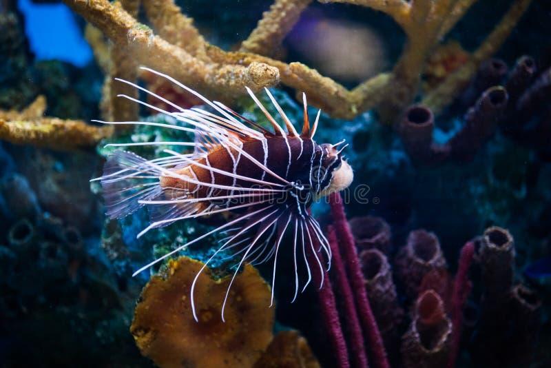 Beau Lionfish (Pterois) seul nageant dans un aquarium image stock