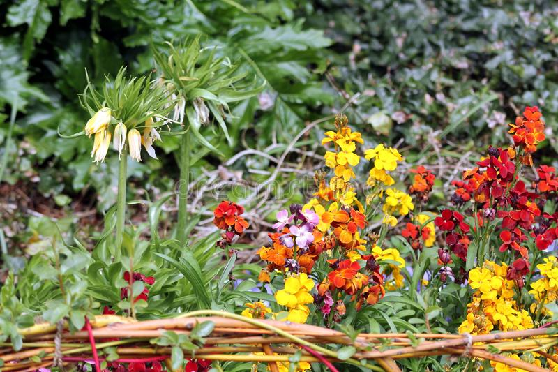 Beau lit de fleur avec les fleurs jaunes, oranges et rouges images stock