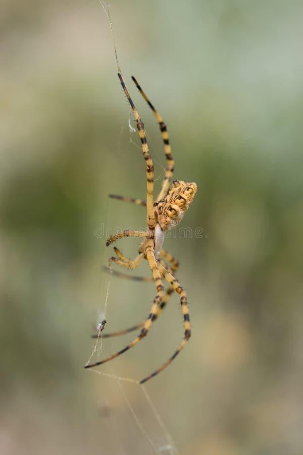 Beau lobata d'Argiope d'araignée en Croatie, Krk image stock