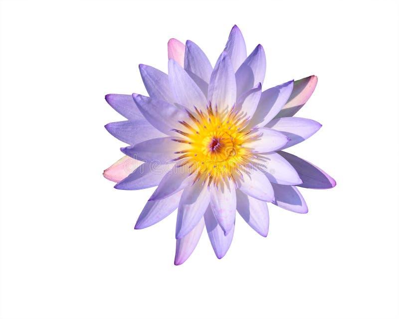 Beau lotus photos libres de droits