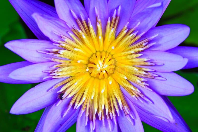 Beau lotus bleu photographie stock libre de droits