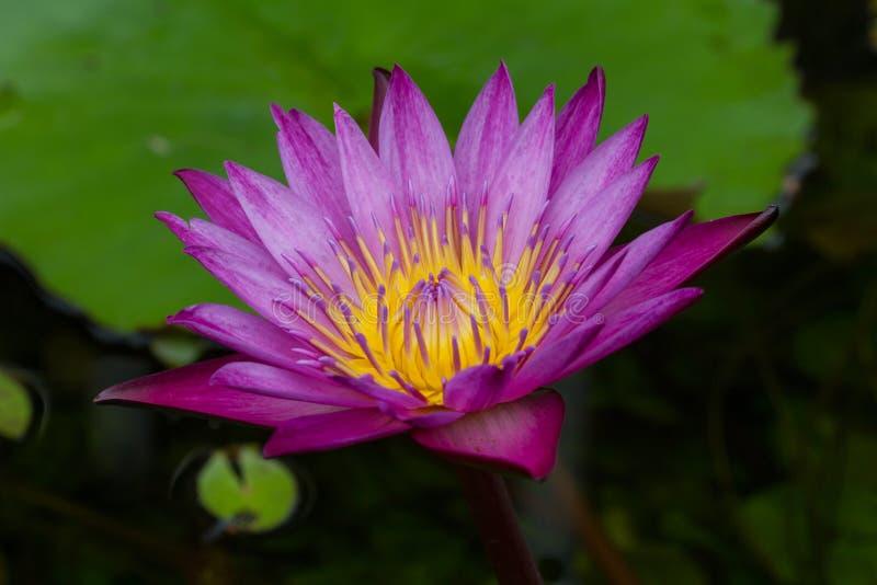 Beau lotus bleu avec l'abeille photographie stock