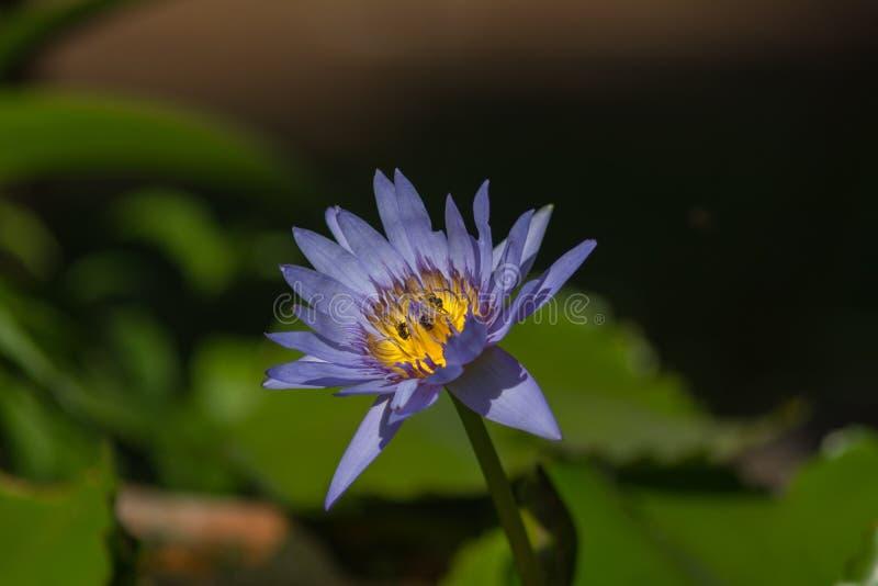 Beau lotus bleu avec l'abeille photo libre de droits