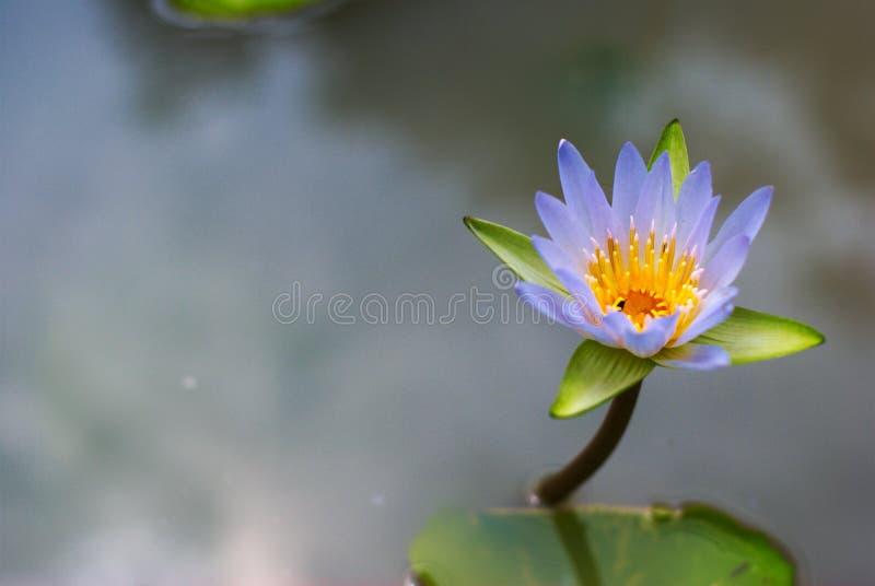 Beau lotus coloré dans la piscine naturelle photographie stock libre de droits