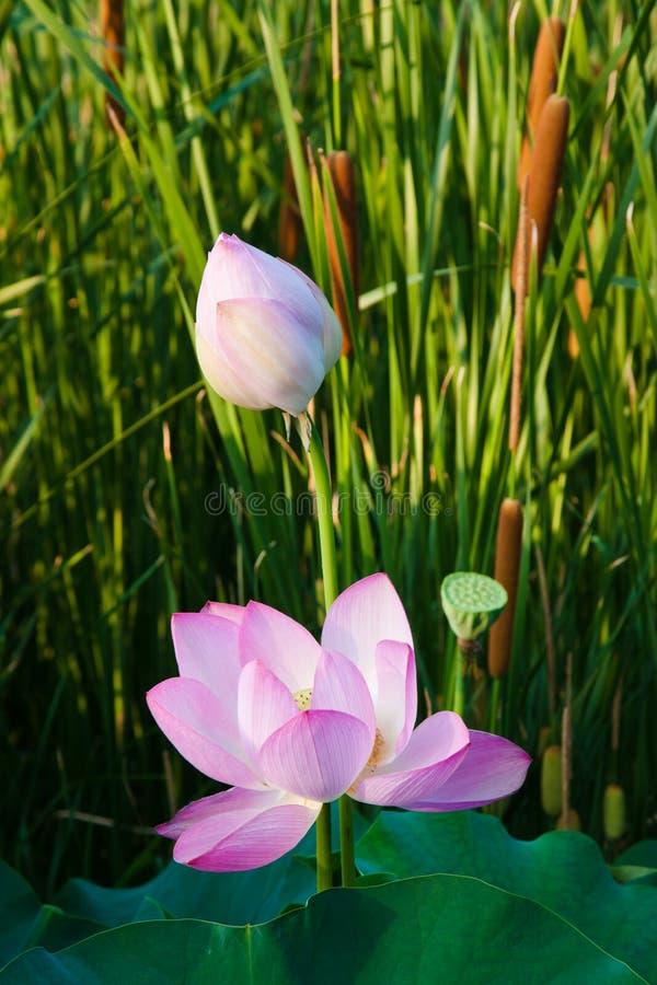 Beau lotus dans le pong photos libres de droits