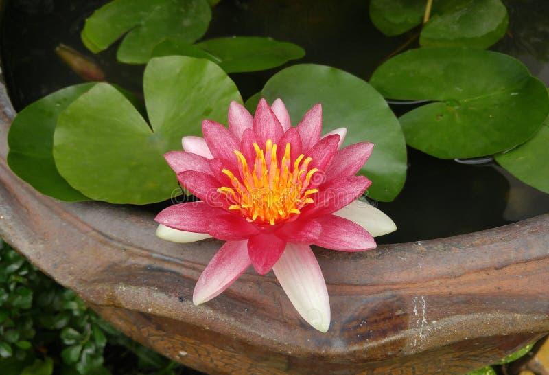 Beau lotus de rose de fleur image libre de droits