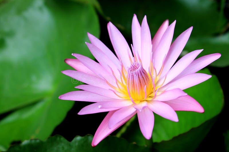 Beau lotus rose de floraison image stock