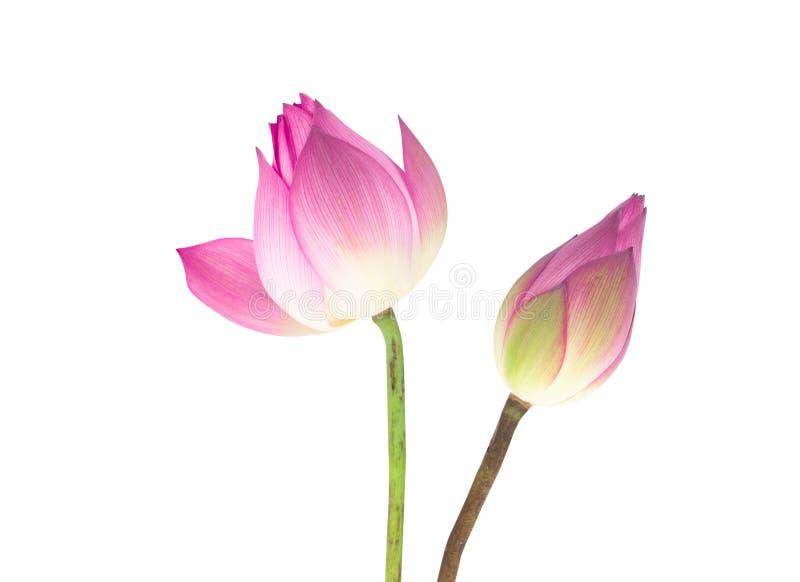 Beau lotus rose de plan rapproché d'isolement sur le fond blanc photographie stock