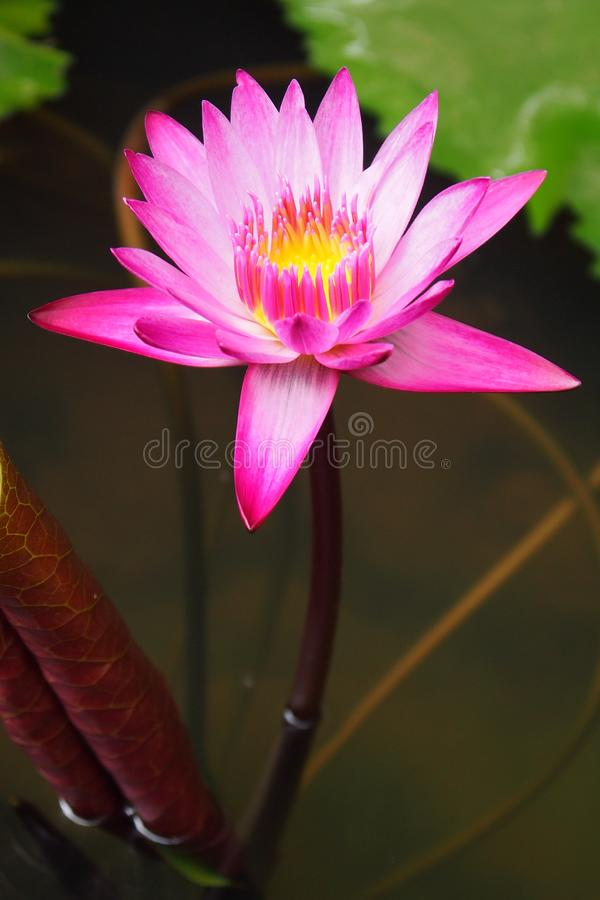 Beau lotus rose image stock