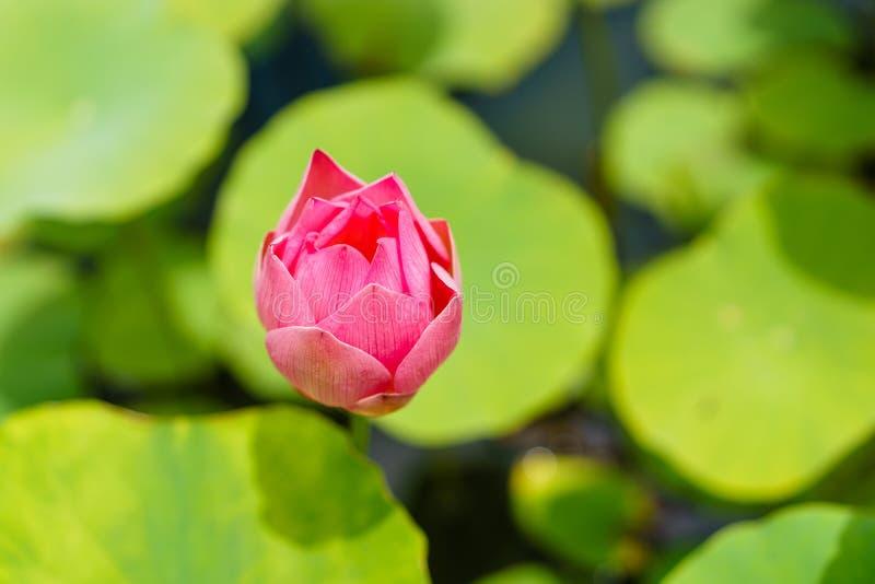 Beau lotus rose prêt à fleurir images libres de droits