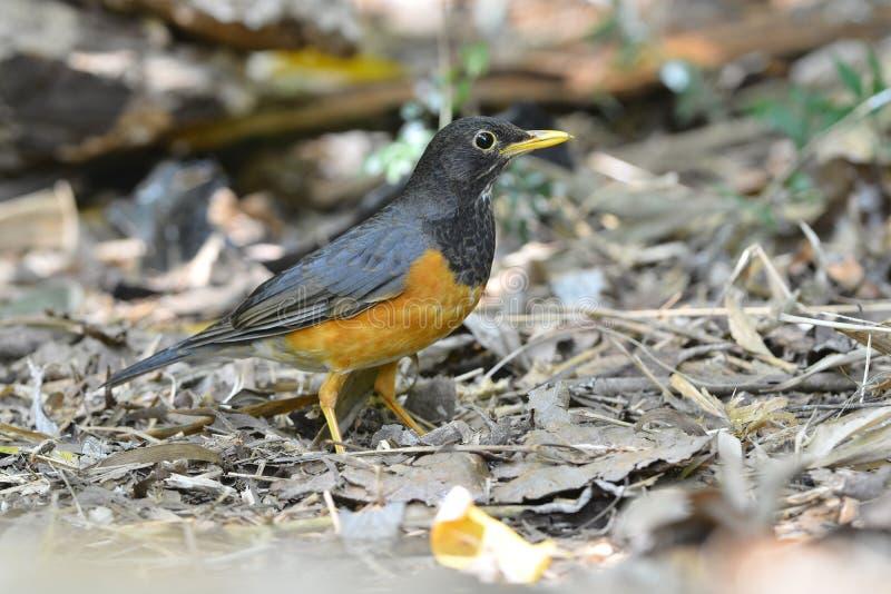 Beau mâle d'oiseau noir-breasted de grive photographie stock