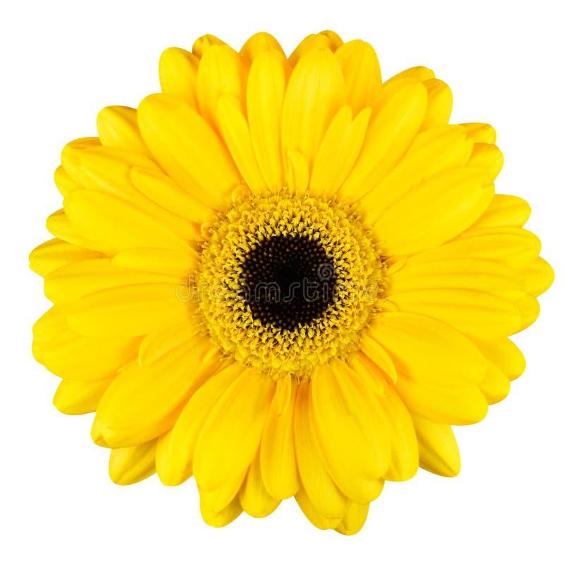 Beau macro jaune de fleur de Gerbera d'isolement sur le blanc photos libres de droits