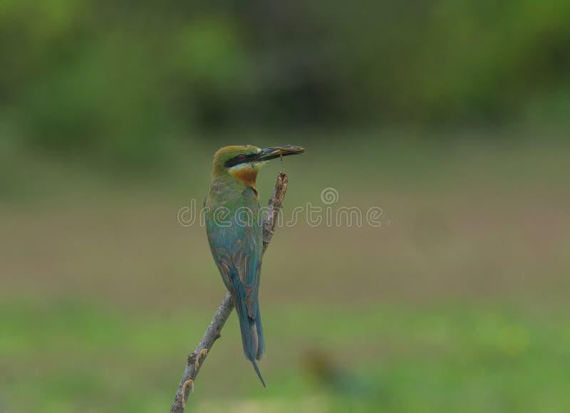 Beau mangeur d'abeille coupé la queue d'oiseau par bleu photographie stock