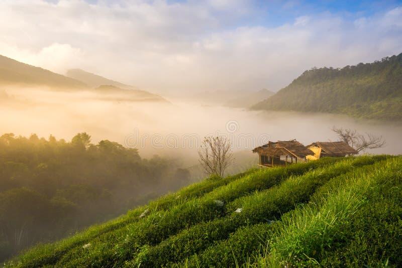 Beau matin à la plantation de thé Chiang Mai thailand images stock