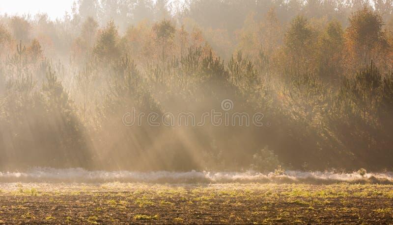 Beau matin avec des rayons de soleil et le paysage automnal de jeune forêt images libres de droits