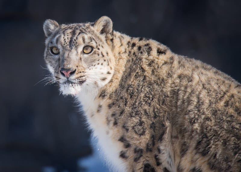 Beau matin contagieux Sun de léopard de neige images stock
