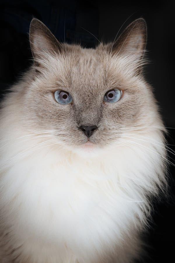 Beau modèle de chat de Ragdoll avec le visage regardant directement dans la caméra avec le beau charme, curieux et hypnotiser le  photos stock