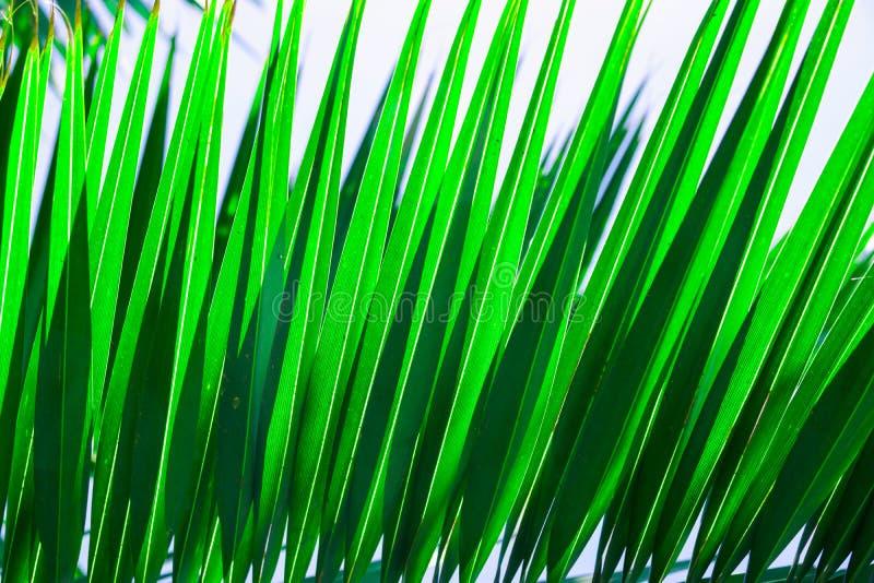 Beau modèle tropical de fond de nature Palmette en épi rayée Couleur verte fraîche vibrante Fuites de lumi?re du soleil ?t? photos libres de droits
