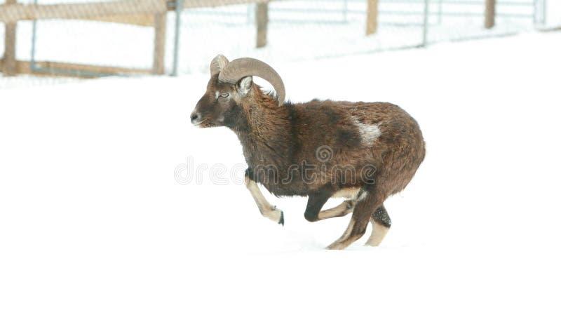 Beau moufflon fonctionnant en hiver photo libre de droits