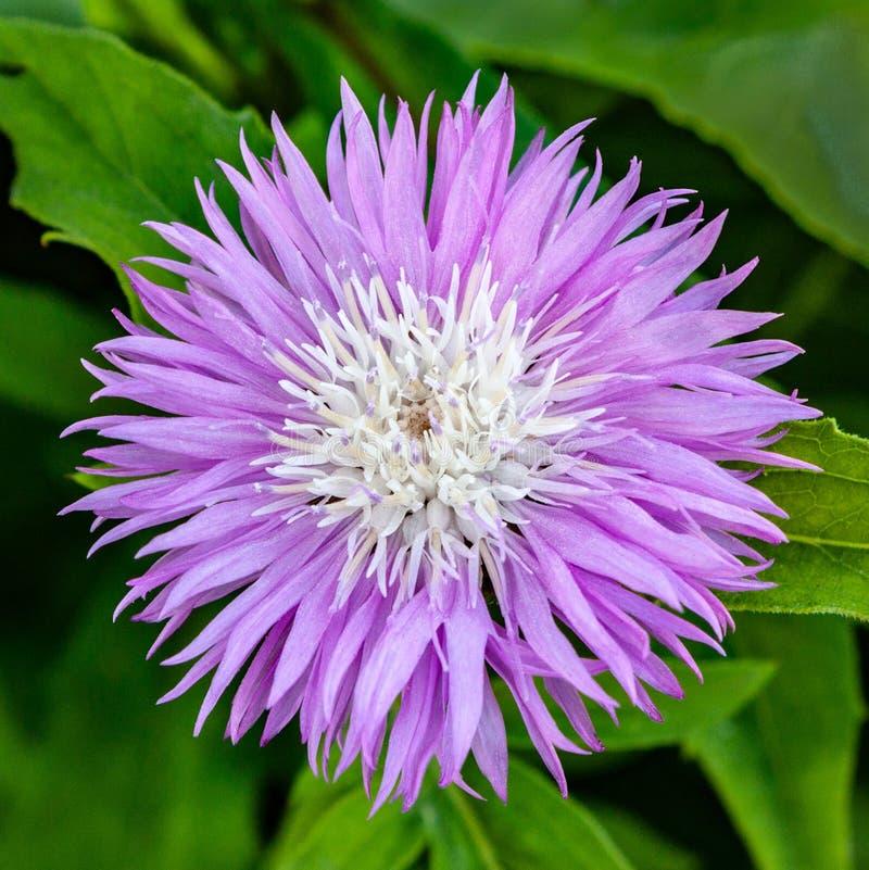 Beau musc lilas d'Amberboa de bleuet de fleur photographie stock