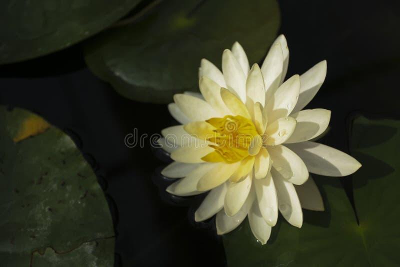 Beau nénuphar jaune pâle dans un étang photographie stock libre de droits