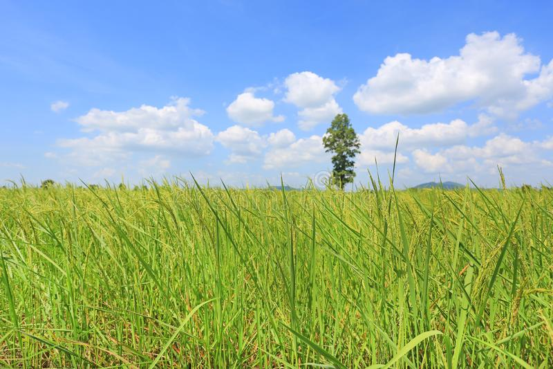 Beau nuage gonflé sur le ciel bleu dans le jeunes domaine et arbre verts de riz non-décortiqué Fond de scène d'été de paysage photo stock