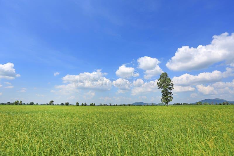 Beau nuage gonflé sur le ciel bleu dans le jeunes domaine et arbre verts de riz non-décortiqué Fond de scène d'été de paysage photographie stock