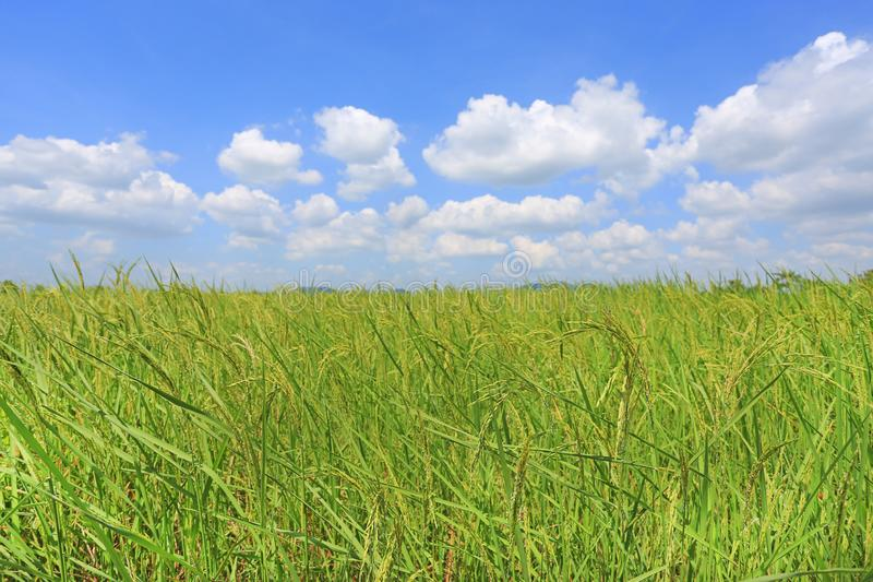 Beau nuage gonflé sur le ciel bleu dans le jeunes domaine et arbre verts de riz non-décortiqué Fond de scène d'été de paysage image libre de droits